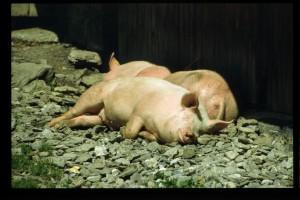schwein muß man sein